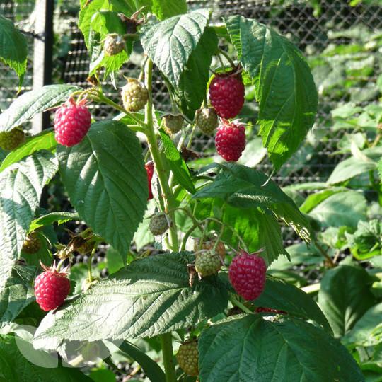 Raspberry autumn plant