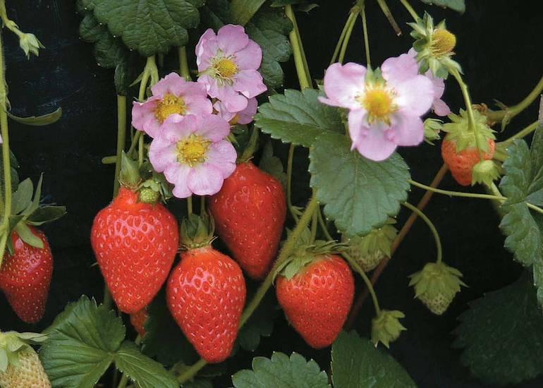 Strawberry-bedding