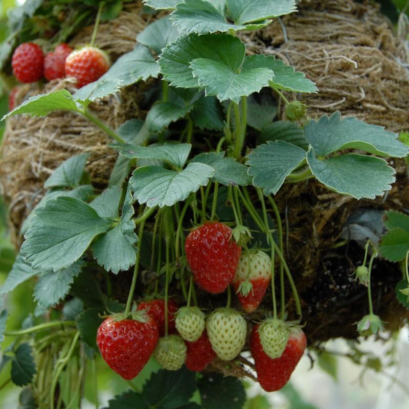 strawberry - trailing