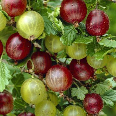gooseberry-whinhams